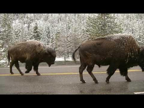 Yellowstone Wildlife - May 15-18, 2017