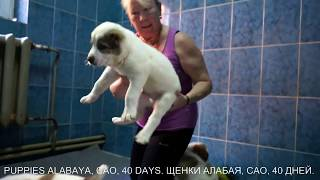 Щенки алабая, среднеазиатской овчарки, 40 дней. www.r-risk.ru +79262205603 Татьяна