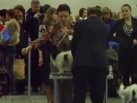 Papillon Eurazia 230314 Females interm open champions veteran Best Female CACIB rCACIB BOB