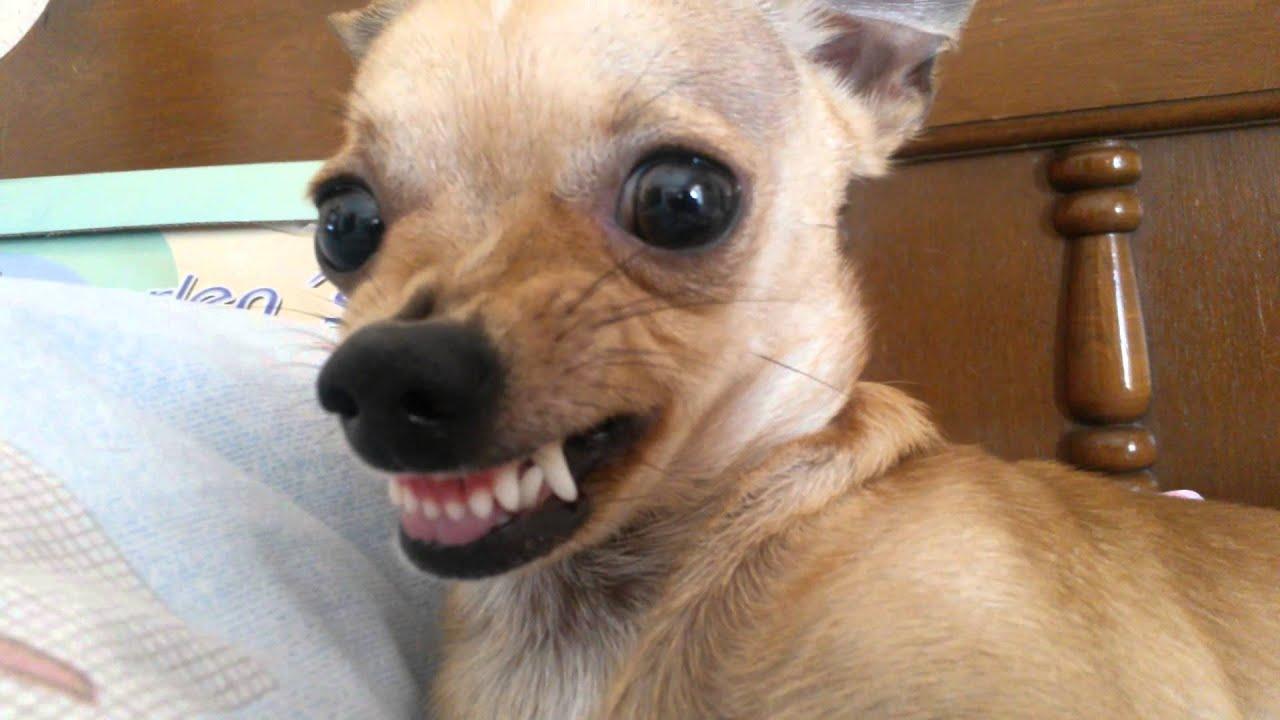 Chihuahua enojado - YouTube