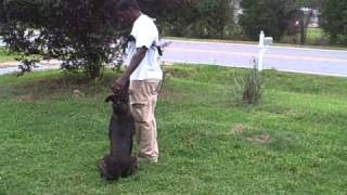 Bucho Ob & Forced Retrieves @ 11 Months Old