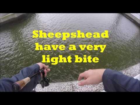 Sheepshead Fishing In Charleston South Carolina