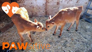Baby Cows Love Their New, MOOvelous Life