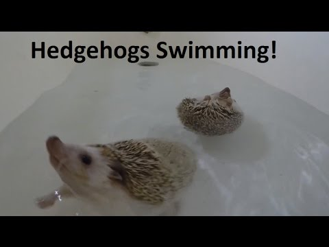 CUTE Hedgehog Swim Compilation!