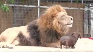 Dachshund Cleans Lions Teeth