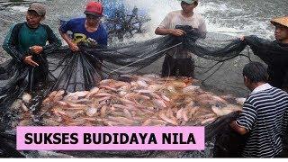Cara Budidaya Ikan Nila Beserta Panduan Lengkap Agar Sukses