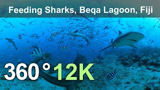 Feeding Sharks. Beqa Lagoon Fiji. Underwater 360 Video In 12K