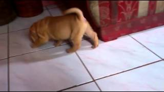 Chinese Sharpei For Sale^^