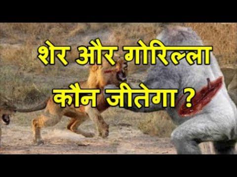 शेर और गोरिल्ला की लड़ाई | Gorilla Vs Lion, Buffalo vs Rhino, Gorilla big baboon vs biggest cat