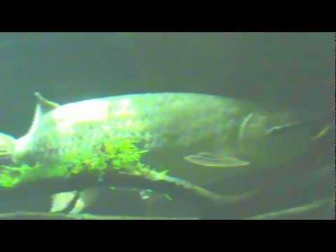 Giant Saratoga Leichardti - Spotted Arowana 100cm