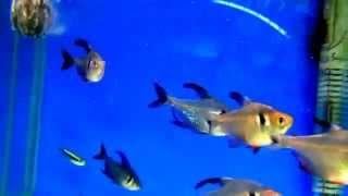 Аквариумные рыбки - орнатус чёрный и Неон чёрный  Аквариумистика