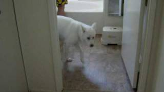 Our White Korean Jindo Dog Getting Ready For A Bath