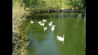 Американское Лебединое Озеро - Настоящее!(В зоопарке возле города Green Bay, штат Висконсин. Это первый ролик, будет еще несколько. Заходите на сайт: http://www...., 2012-09-02T18:33:02.000Z)