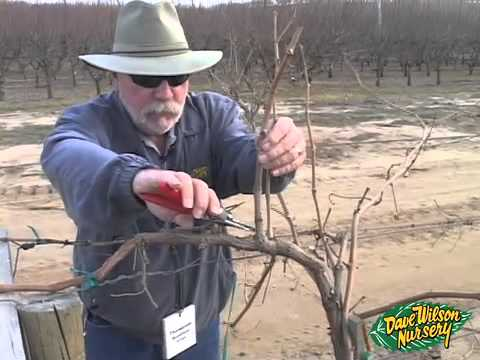 Pruning Grapes 2014 Youtube