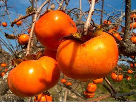 que propiedades tiene la fruta persimon