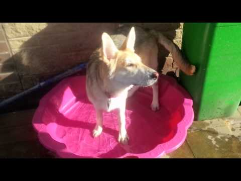 Pixie gets a paddling pool - GSD - German Shepherd Dog Puppy