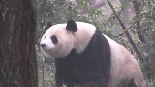 【浜家パンダ💕】雄浜&永浜&梅浜🐼結浜のいとこもとんがり頭📡!?【成都パンダ基地】Giant Panda☆Yuhin♂,Eihin,Meihin/Chengdu Base