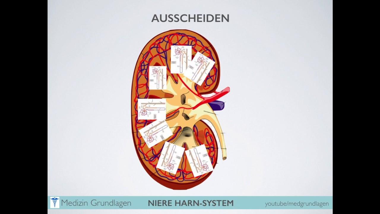 Ziemlich Harnsystem Diagramm Bilder - Menschliche Anatomie Bilder ...