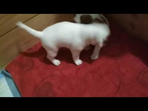 Jack Russell Terrier, puppies fun