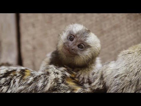 These Baby Marmoset twins are the cutest 🍼🐵🐵