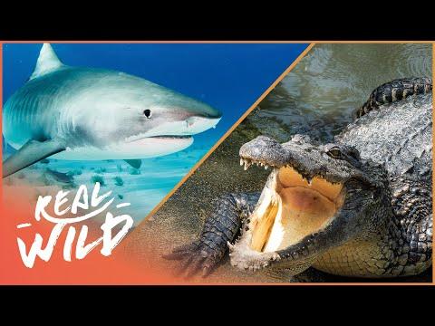Sharks Vs Crocodile [Shark & Crocodile Documentary] | Wild Things