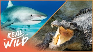 Sharks Vs Crocodile [Shark & Crocodile Documentary] | Wild Things