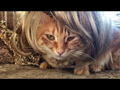 Funny Jack the Maine Coon Cat with a Mane