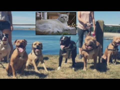Cat Shockingly Attacks 7 Pit Bulls But The Dogs Don't Fight
