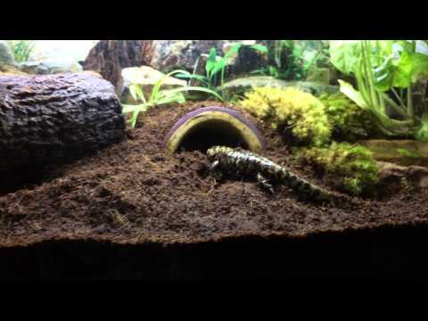 Tiger salamander goes to its burrow