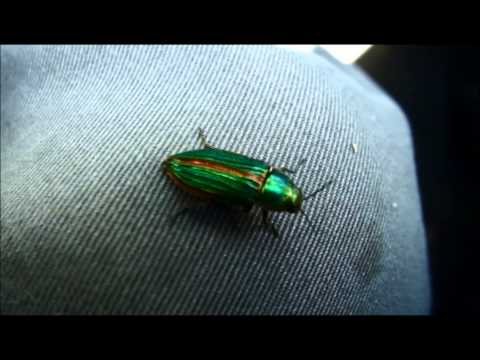 Jewel Beetle - Buprestis aurulenta