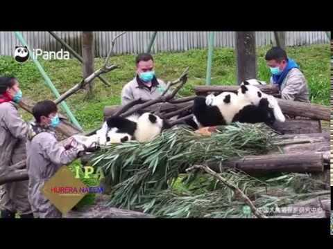 i-panda