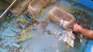 โคตรฉลาด!! สร้างบ่อเลี้ยงกุ้งก้ามแดงแบบง่ายๆในครัว ตัวขนาด 1 นิ้วขายตัวละ 50 บาท
