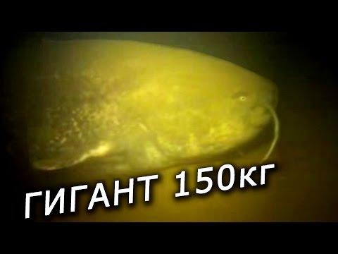 Самый большой Сом в мире на 150 кг под водой . Смотреть видео