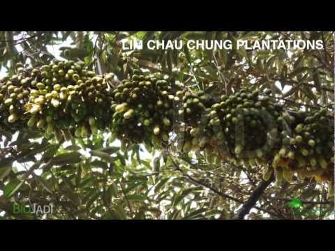 Durian - Organically Grown @ Lim Chau Chung Plantations