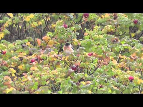 Kaspische roodborsttapuit, Saxicola maurus variegatus, Caspian Stonechat