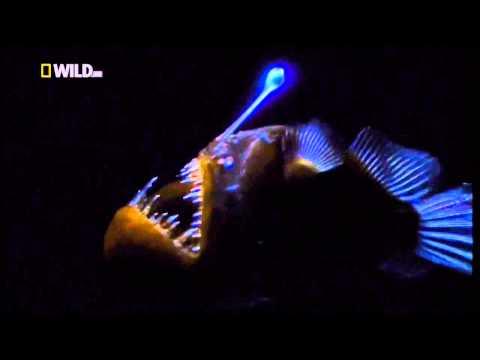 Как выглядит рыба фонарь