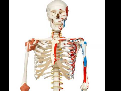 3B Scientific A13 Plastic Super Human Skeleton Model Sam BEST PRICE SALE|Human Skeleton Model Review