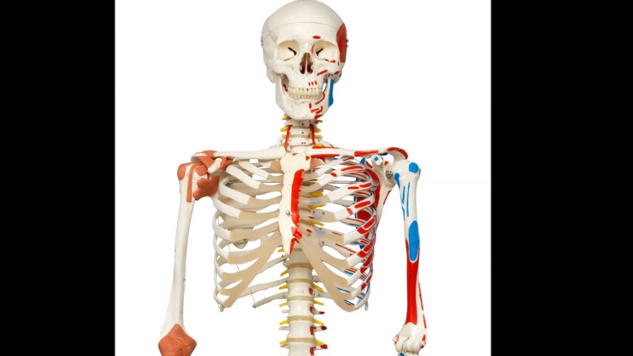 3b Scientific A13 Plastic Super Human Skeleton Model Sam Human