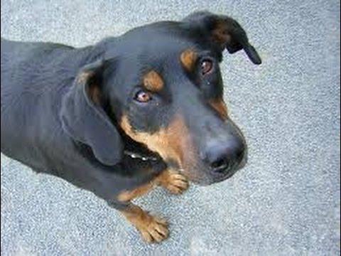 Beauceron  / Dog Breed