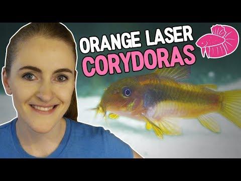 Orange Laser Corydoras - Lots of Baby Bettas - Daily Video #6