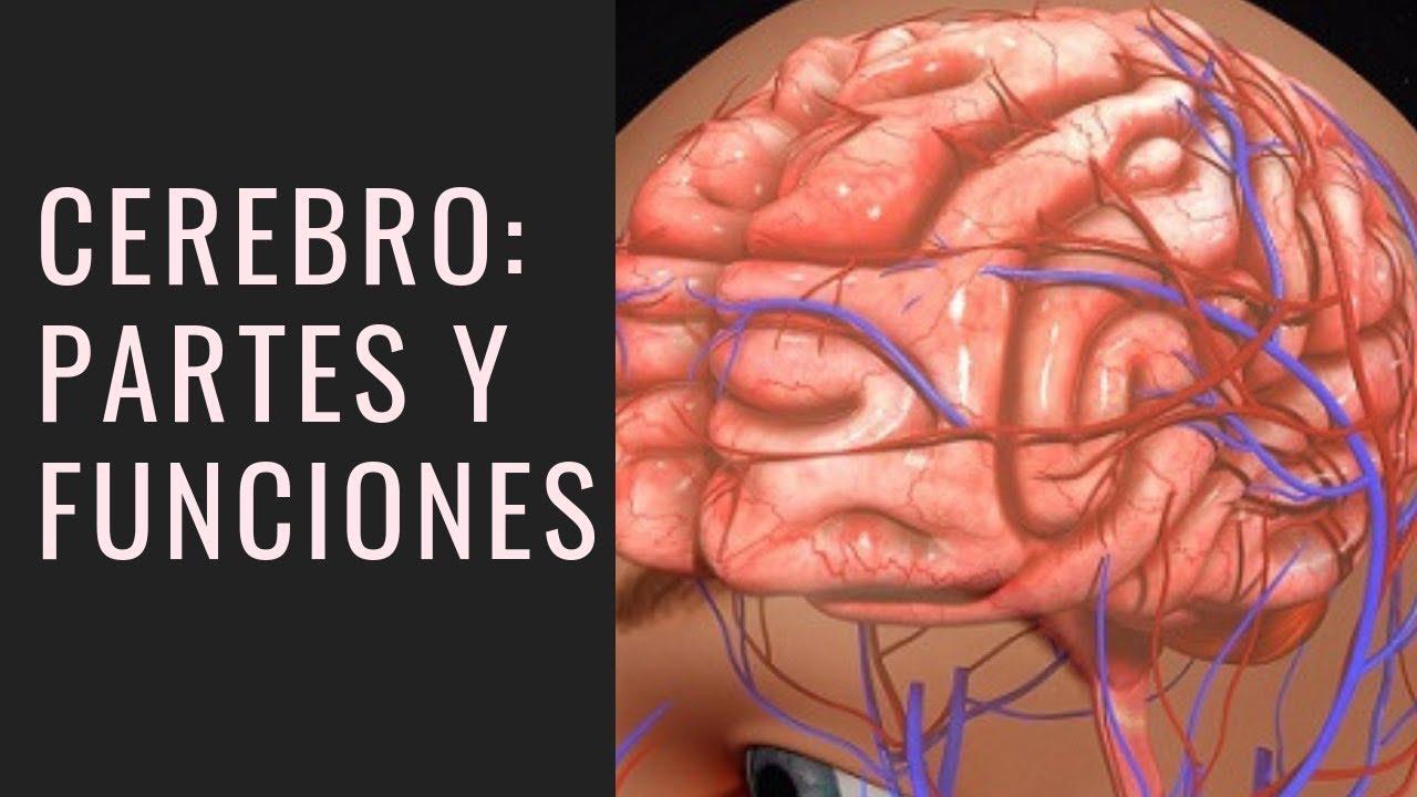 Cerebro Humano Partes Y Funciones Con Imágenes