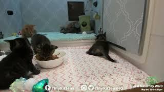 tiny-ferocious-kitten-watch-out-tinykittens-com