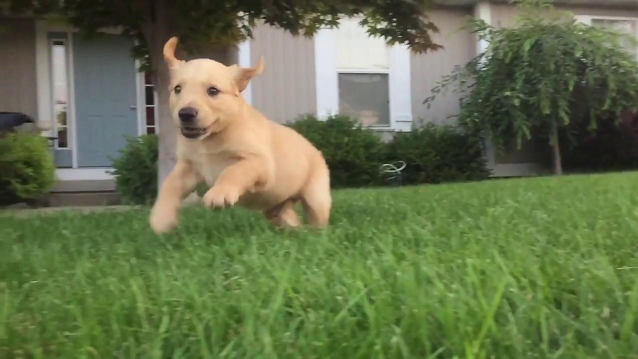 Golden Retriever Puppy Running In Slow Motion Youtube