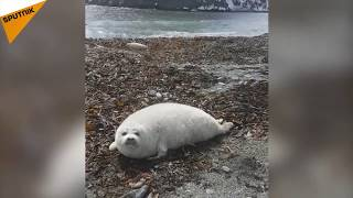 Cute Fat Seal Pup Found in Kamchatka