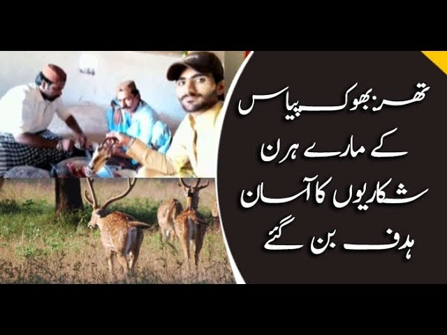 Hungry Deers become easy prey for hunters in Tharparkar