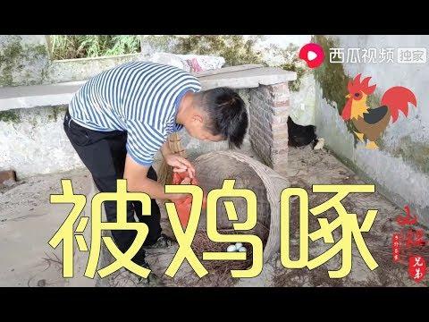 【山鍋兄弟】给孵化10天的小鸡搬新窝,鸡妈妈保护欲太强,山锅兄弟差点被啄伤