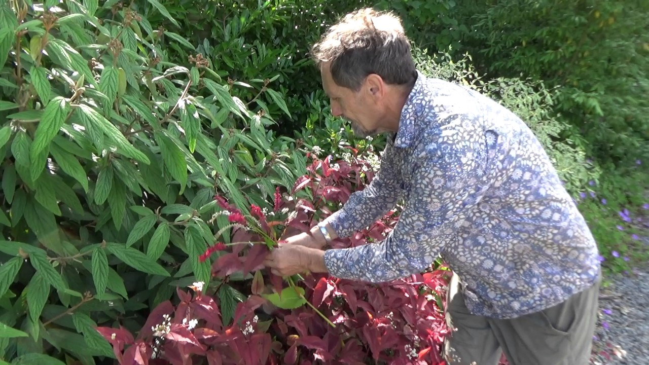 Are Persicaria Perfect Plants For The Modern Garden?