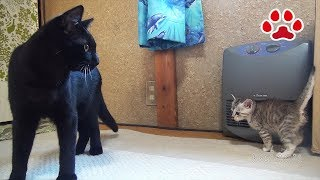 仔猫が気になる黒猫 Black cats are interested in kitten