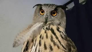 """Порция вечерних УГУ по просьбам подписчиков. Eagle Owl Yollka says """"UHU"""" and """"mimimi"""""""