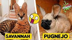 7 ANIMALES HÍBRIDOS Más Increíbles CREADOS Por el Hombre | DeToxoMoroxo